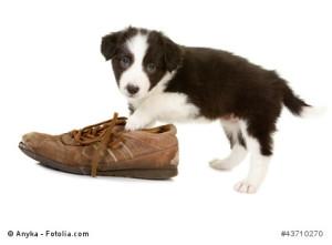 Welpe mit Spielobjekt Schuh